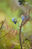 Bacground de forager avec les baies comestibles Photographie stock libre de droits