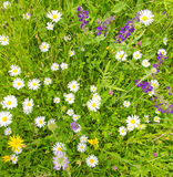 Bacground with herbs and flowers in spring. Colorful herbs and flowers on a natural meadow - Texture, background Royalty Free Stock Images