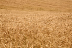 Bacground from ripe ears of wheat field Stock Photo