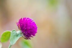 Bachalor blomma Arkivfoto