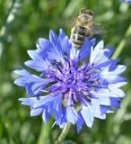 Bachelor& x27; botón de s con la abeja que se va volando Fotos de archivo