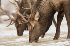 Bachelor Bull Elk. Pair of bachelor bull elk feeding on the dry grass in the snow Royalty Free Stock Photography