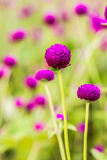 Bachelor button flower Stock Images