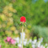 Bachelor button flower. Red Bachelor button flower on a green and blur background Stock Image