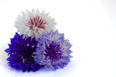 Bachelor Buttons isolated on a white background. Pyramid of bachelor buttons (Centaurea cyanus) isolated on a white background Stock Photos