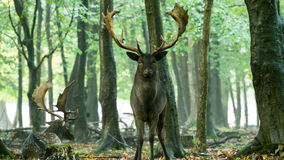 Bachelor herd Fallow deer (Dama dama) Royalty Free Stock Image