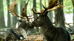 Bachelor herd Fallow deer (Dama dama) lying down Royalty Free Stock Image