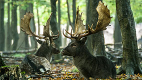 Bachelor herd Fallow deer (Dama dama) Stock Image