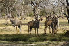 Bachelor herd of Kudu Royalty Free Stock Photography