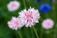 Bachelor& x27; s按钮在花田的桃红色野花 库存图片