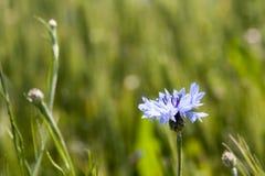 Bachelor's button (Centaurea cyanus) flower Stock Photos