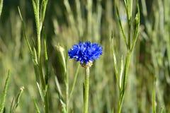 Bachelor& x27; s Knoop Purpere Wildflower op Gebied stock foto's