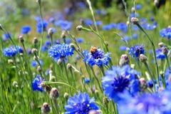Bachelor& x27; s-Knopf purpurrote Wildflowers auf dem Gebiet mit Biene Stockfoto