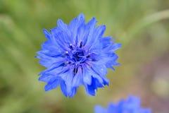 Bachelor& x27; s-Knopf purpurroter Wildflower auf dem Gebiet Stockbild