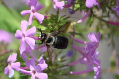 Bachelors Button bumble bee Royalty Free Stock Photography