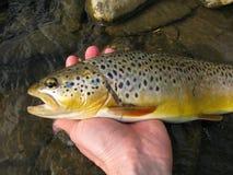 Bachforellefischen Lizenzfreie Stockfotos