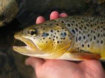 Bachforellefischen Stockfotos