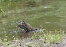 Bachstelze im Wasser, Motacilla werae, natürliche Umwelt Stockfoto