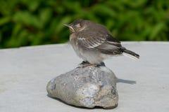 Bachstelze, junger Vogel Motacilla alba Lizenzfreie Stockfotos
