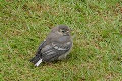 Bachstelze, junger Vogel Motacilla alba Stockfotografie