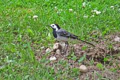 Bachstelzevogel auf einem Hintergrund des grünen Grases Stockfotografie