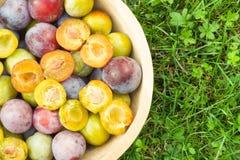 Bacia completamente de tipos diferentes das ameixas na grama verde saudável Foto de Stock
