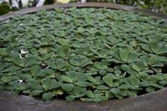 Bacia de lírios com folhas verdes fotografia de stock royalty free