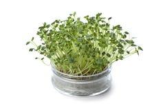 Bacia de vidro com os sprouts frescos do radish Fotos de Stock Royalty Free