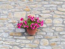 Bacia (petúnia) de suspensão roxa de uma parede de pedra áspera de uma casa de campo fotografia de stock royalty free