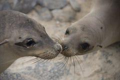 Baciare dei leoni di mare Immagini Stock Libere da Diritti