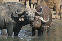 Baciare delle Buffalo Fotografia Stock