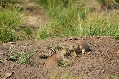 Baciare delle marmotte Fotografia Stock