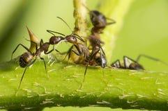 Baciare formica fotografie stock libere da diritti
