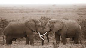 Baciare gli elefanti Immagini Stock Libere da Diritti