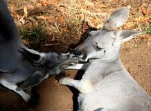 Baciare i canguri Fotografia Stock