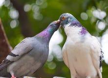 Baciare i piccioni Fotografia Stock