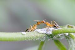 baciare le formiche fotografie stock