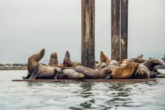 Bacino galleggiante con i leoni marini Colonia di foche, California immagini stock libere da diritti