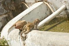 Bacino idrico bevente usato dalle scimmie Immagine Stock Libera da Diritti