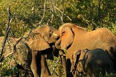 Bacio degli elefanti Immagine Stock