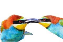 Bacio degli uccelli colorati isolati su un fondo bianco Fotografie Stock