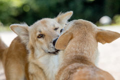 Bacio dei cani Fotografia Stock