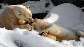 Bacio del francese dell'orso polare immagine stock