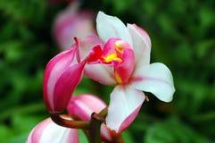 Bacio dell'orchidea Fotografia Stock
