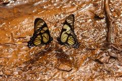 Bacio della farfalla Fotografia Stock