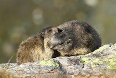 Bacio della marmotta Immagine Stock