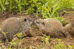 Bacio della marmotta nordamericana Immagini Stock Libere da Diritti