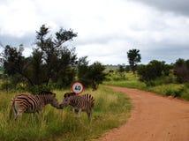 Bacio della zebra Fotografia Stock Libera da Diritti