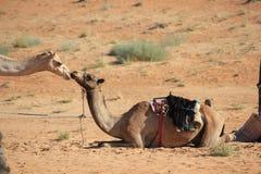 Bacio fra due cammelli nel deserto Fotografia Stock