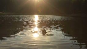 Bacio romantico delle coppie nell'acqua su un tramonto del fondo Bello lago Synevir della montagna stock footage